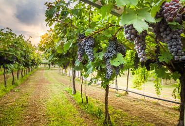A Californian vineyard