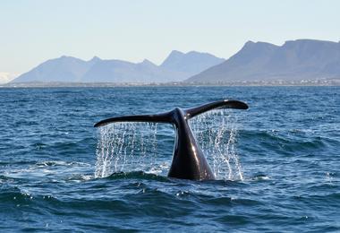 Whale watching, Hermanus