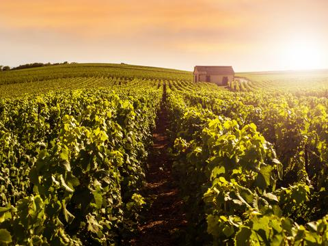 Sunshine on vineyards in Champagne