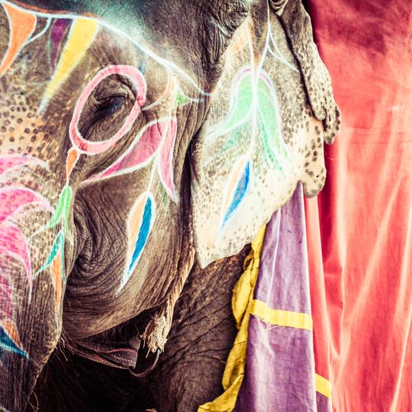 Decorated elephant, India, Jaipur, state of Rajasthan