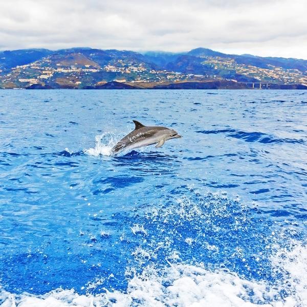 Dolphin, Madeira