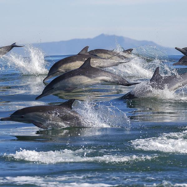 Dolphins swimming off Monterey Bay