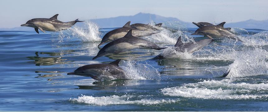 Dolphins swimming near Monterey Bay, California, USA
