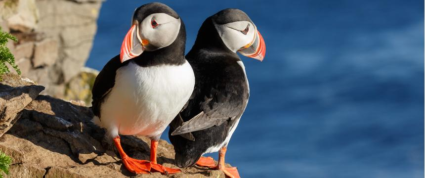 Puffins, Scilly Isles